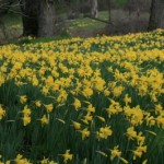 Daffodils in bloom at Mother Lode
